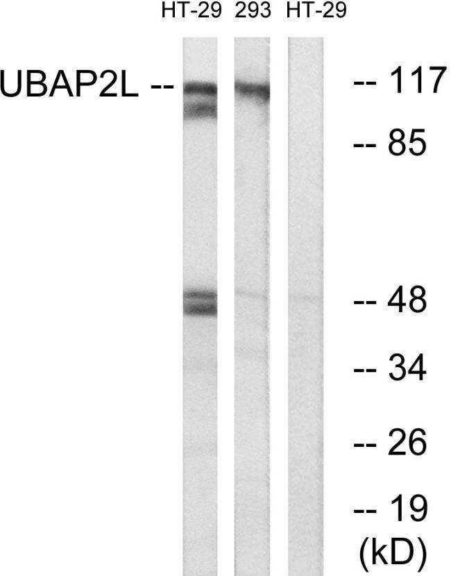 UBAP2L Antibody (PA5-39520)