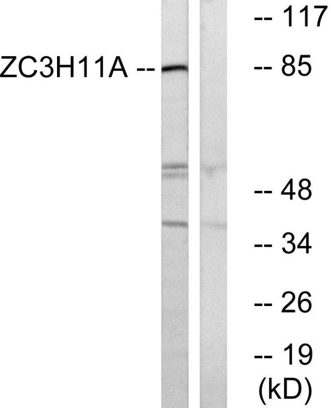 ZC3H11A Antibody (PA5-39539)