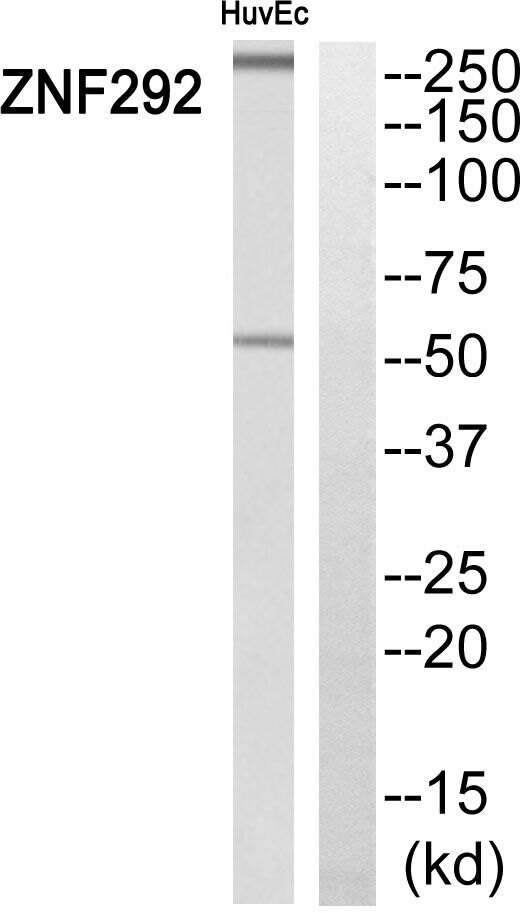 ZNF292 Antibody (PA5-39542) in Western Blot