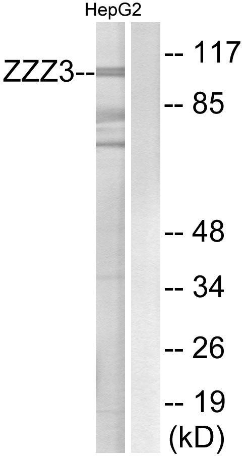 ZZZ3 Antibody (PA5-39549)