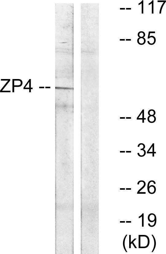 ZP4 Antibody (PA5-39556)