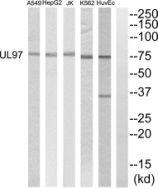 Cytomegalovirus UL97 Antibody (PA5-39565) in Western Blot