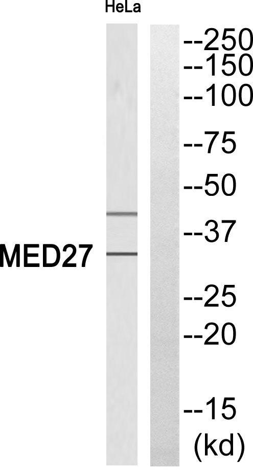 MED27 Antibody (PA5-39566) in Western Blot