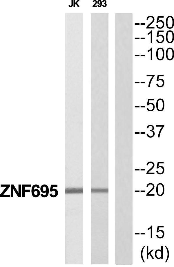 ZNF695 Antibody (PA5-39569)