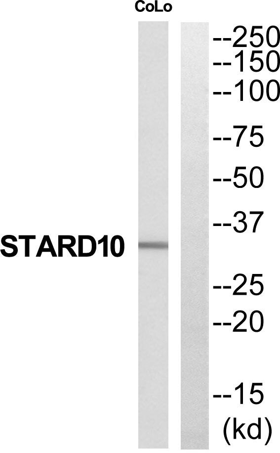 STARD10 Antibody (PA5-39579) in Western Blot
