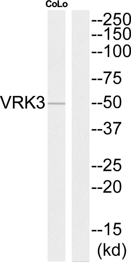 VRK3 Antibody (PA5-39604) in Western Blot