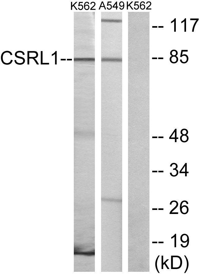 CSRL1 Antibody (PA5-39614) in Western Blot
