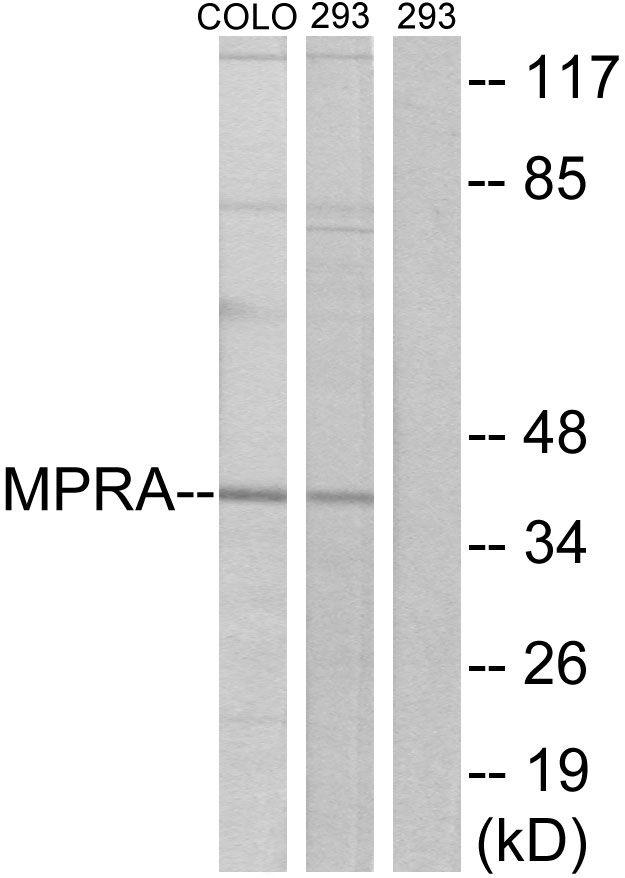 mPR alpha Antibody (PA5-39625)