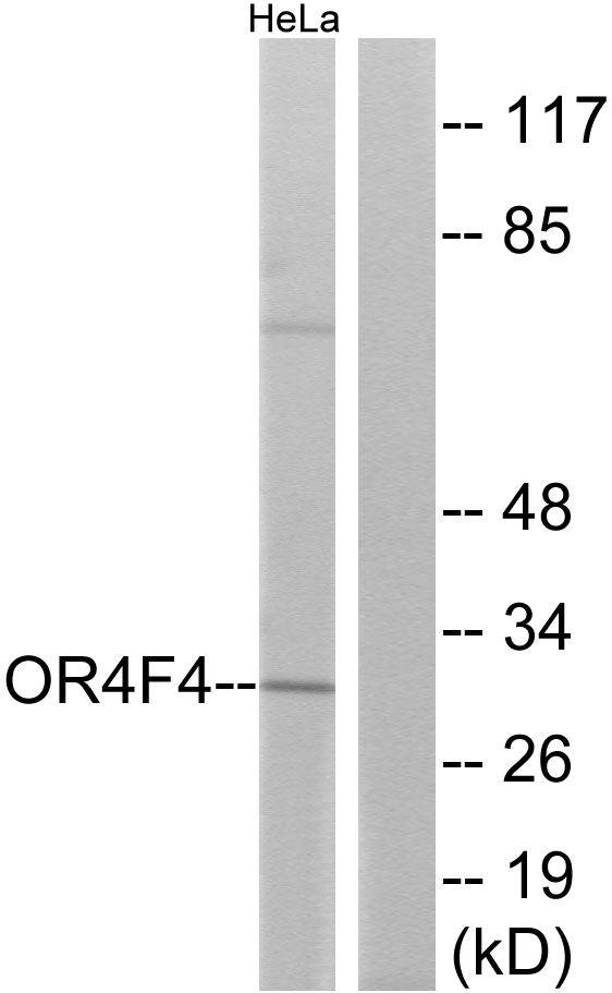 OR4F4 Antibody (PA5-39632) in Western Blot