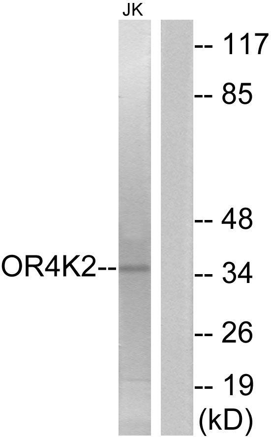 OR4K2 Antibody (PA5-39633)