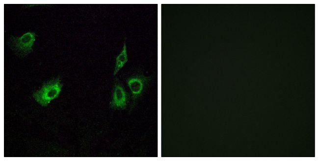 OR4K3 Antibody (PA5-39634)