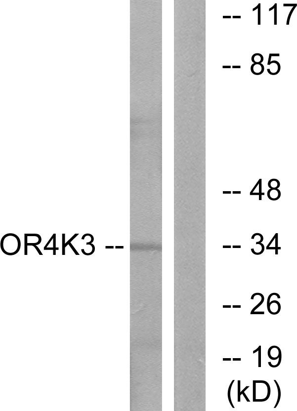 OR4K3 Antibody (PA5-39634) in Western Blot