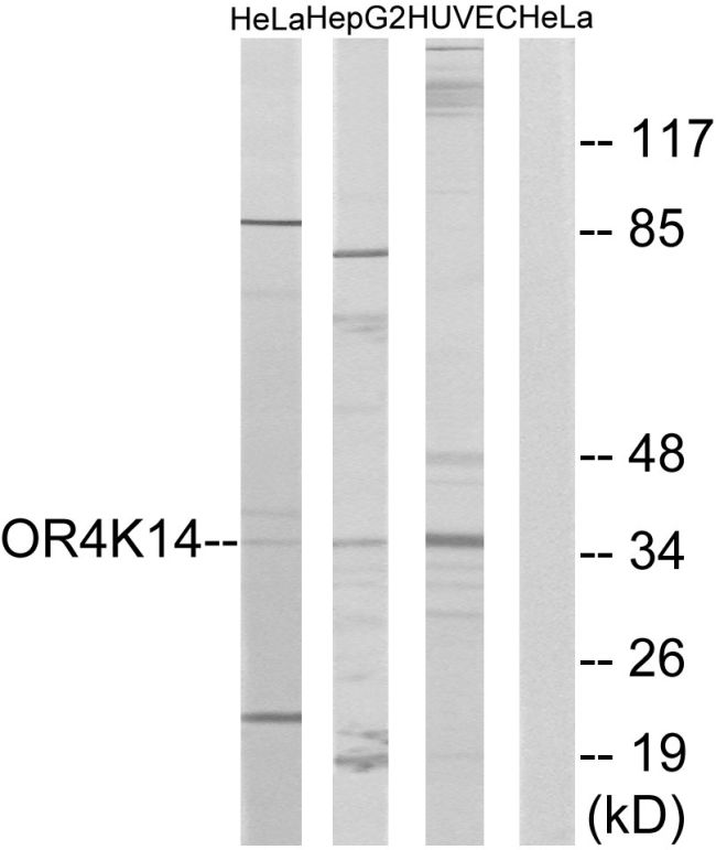 OR4K14 Antibody (PA5-39635) in Western Blot