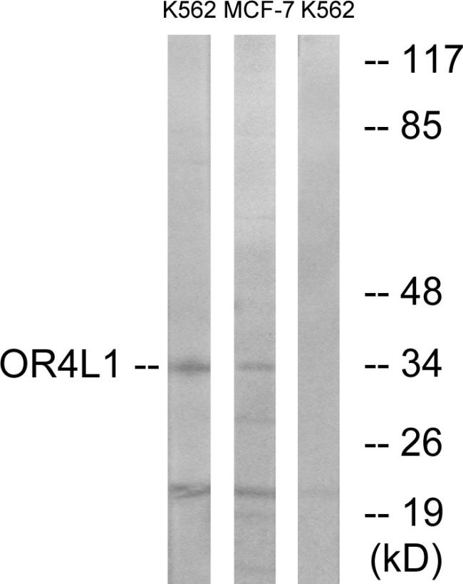 OR4L1 Antibody (PA5-39637) in Western Blot