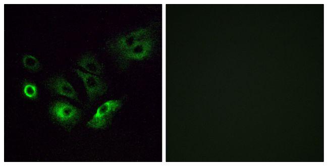 OR4Q3 Antibody (PA5-39640)