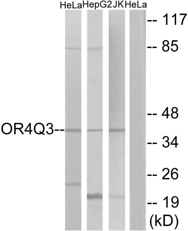 OR4Q3 Antibody (PA5-39640) in Western Blot