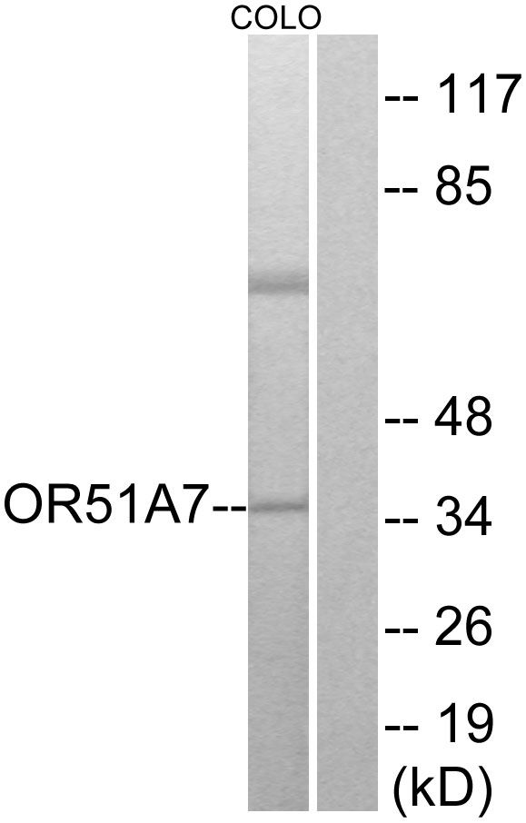 OR51A7 Antibody (PA5-39642) in Western Blot