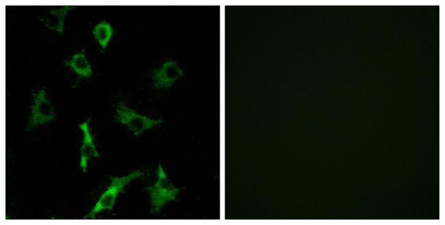OR5B3 Antibody (PA5-39646) in Immunofluorescence