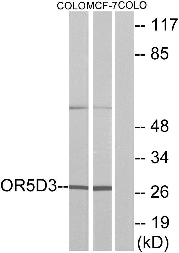OR5D3 Antibody (PA5-39648)