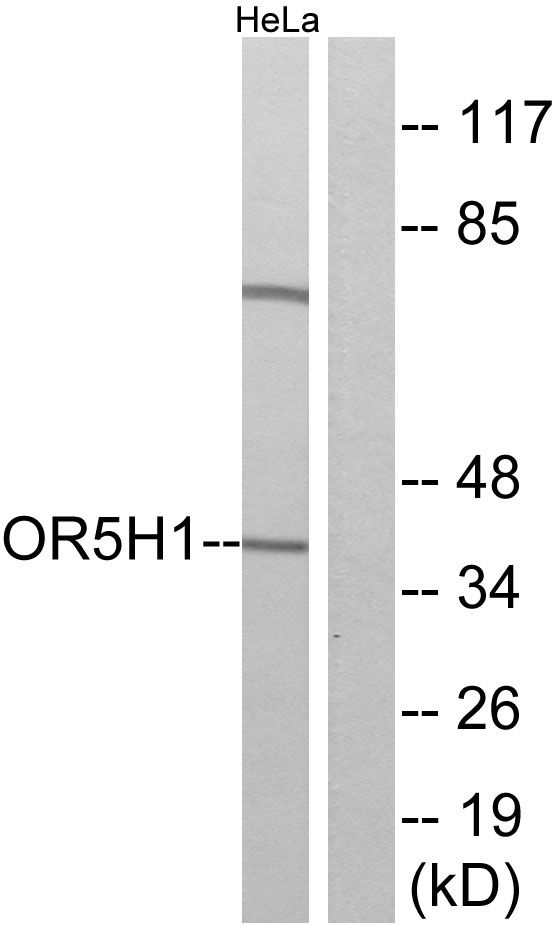 OR5H1 Antibody (PA5-39650) in Western Blot
