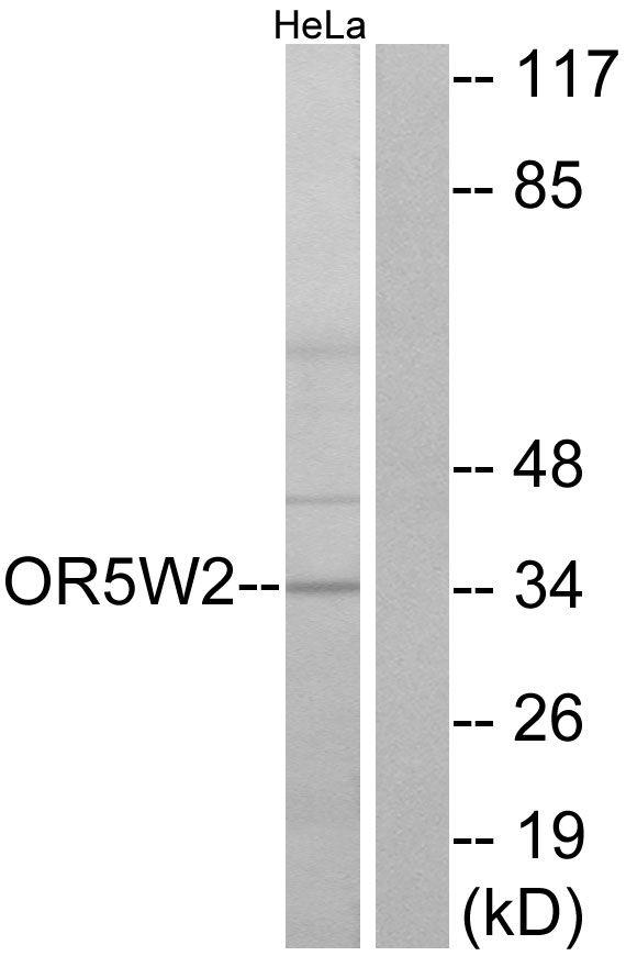 OR5W2 Antibody (PA5-39661) in Western Blot