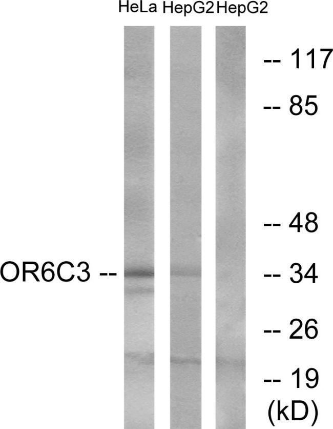 OR6C3 Antibody (PA5-39663)