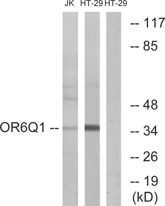 OR6Q1 Antibody (PA5-39666) in Western Blot