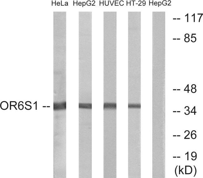OR6S1 Antibody (PA5-39667) in Western Blot