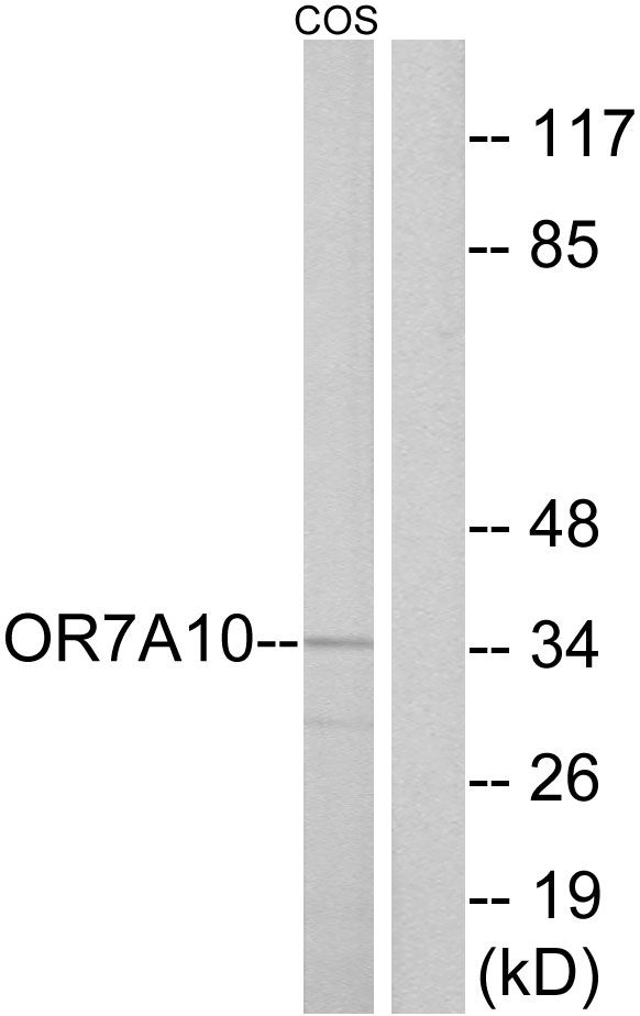 OR7A10 Antibody (PA5-39669) in Western Blot
