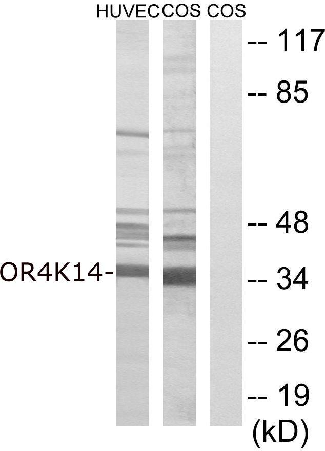 OR4K14 Antibody (PA5-39672) in Western Blot