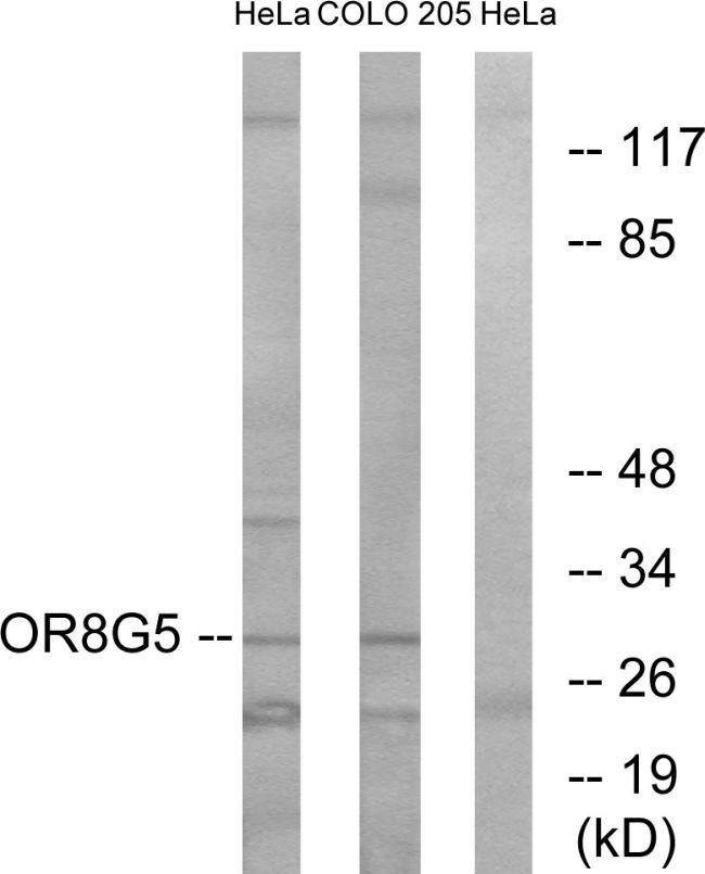 OR8G5 Antibody (PA5-39675) in Western Blot