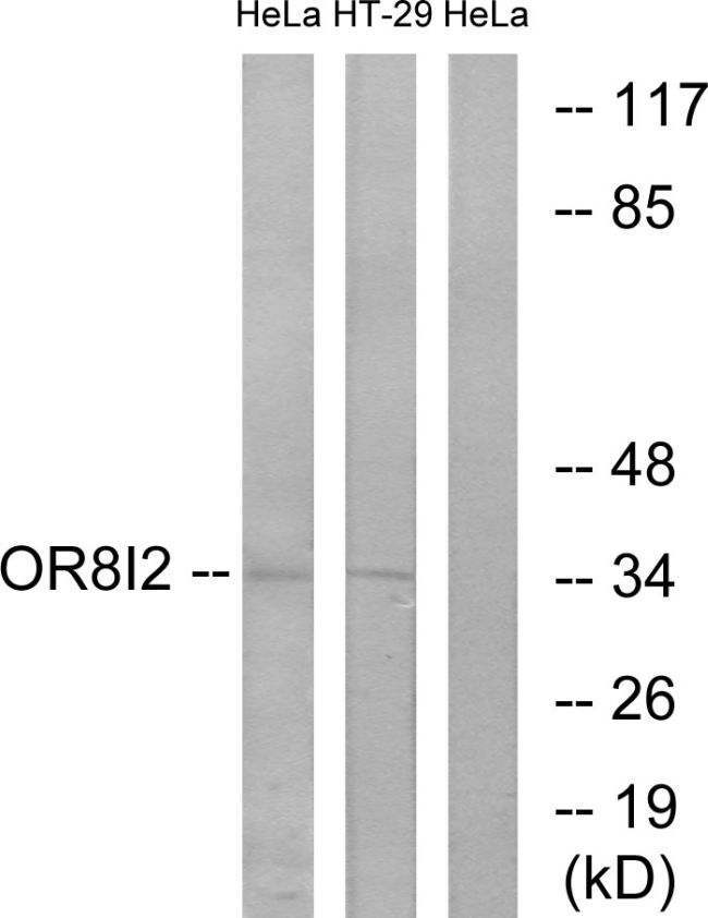 OR8I2 Antibody (PA5-39678) in Western Blot