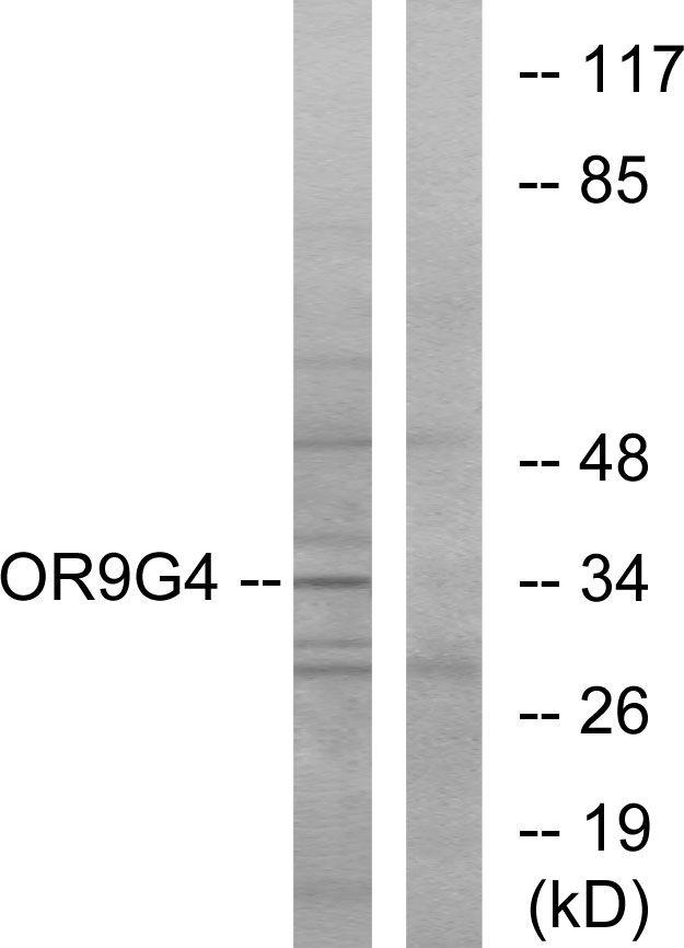 OR9G4 Antibody (PA5-39686) in Western Blot