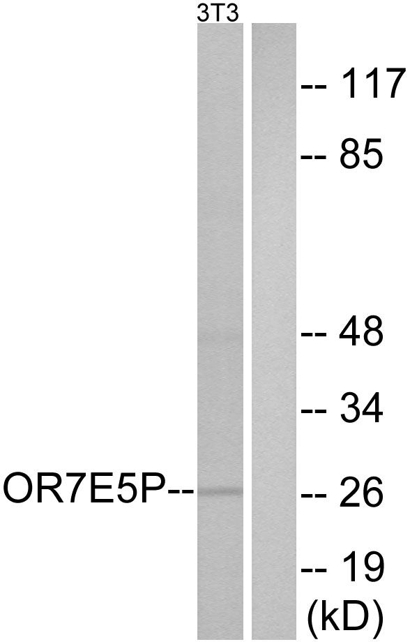 OR7E5P Antibody (PA5-39705) in Western Blot