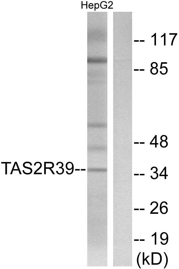 TAS2R39 Antibody (PA5-39711) in Western Blot