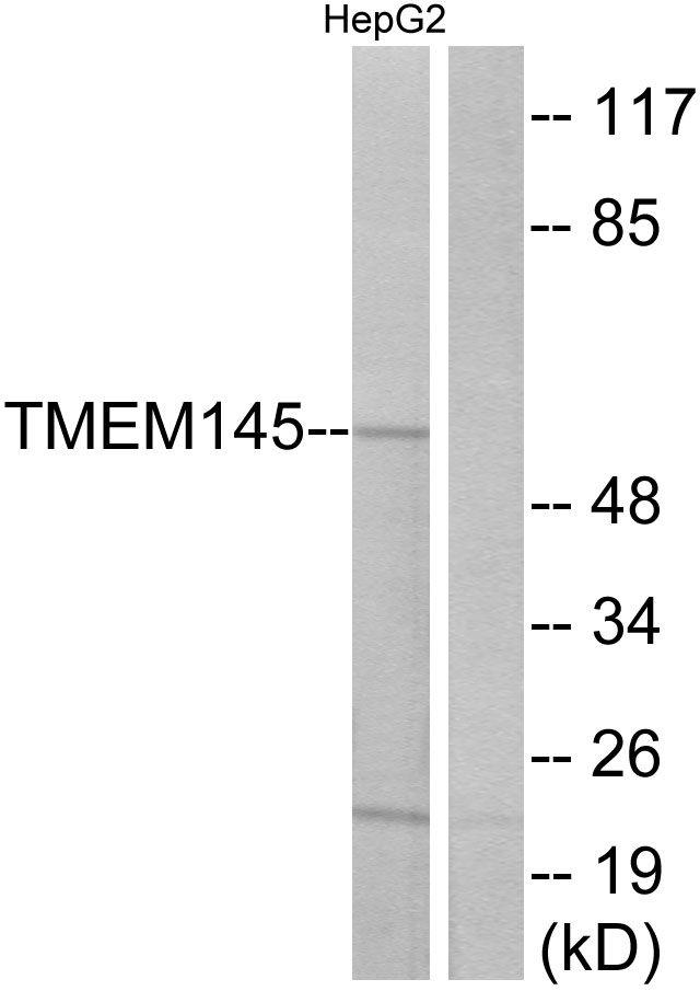 TMEM145 Antibody (PA5-39714) in Western Blot