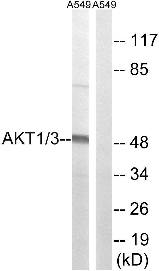 AKT1/AKT3 Antibody (PA5-39727)
