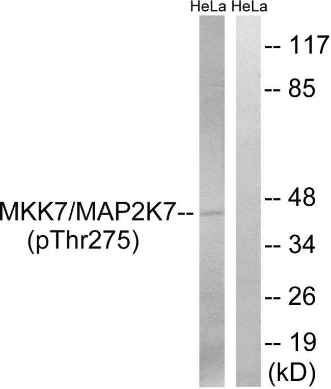 Phospho-MEK7 (Thr275) Antibody (PA5-39744) in Western Blot