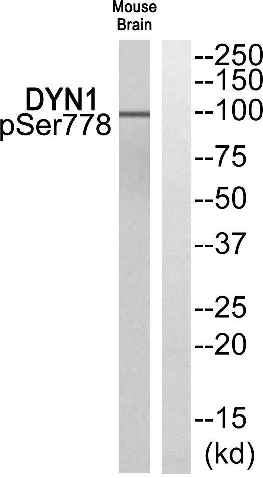 Phospho-Dynamin 1 (Ser778) Antibody (PA5-39763)