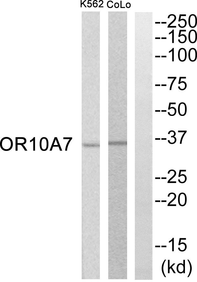 OR10A7 Antibody (PA5-39764) in Western Blot