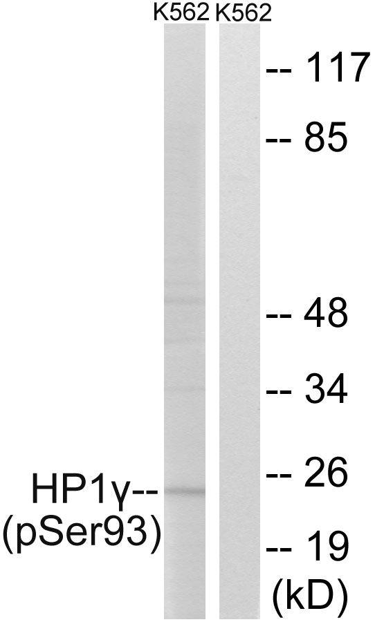 Phospho-HP1 gamma (Ser93) Antibody (PA5-39765)