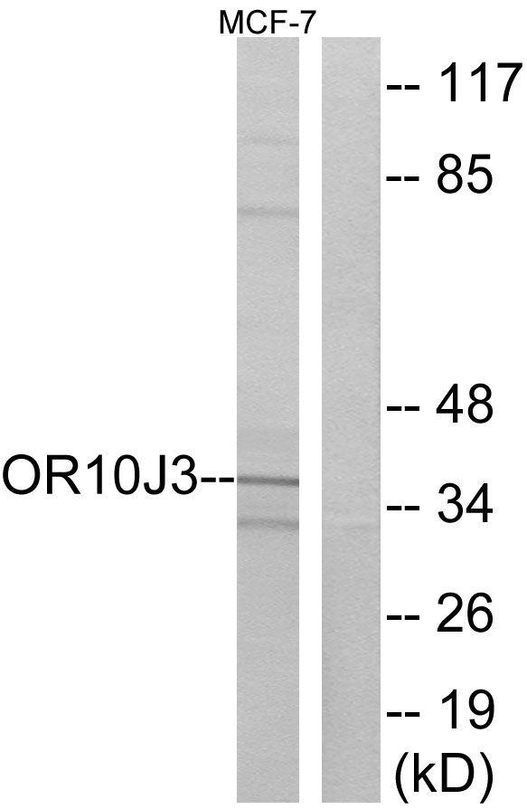 OR10J3 Antibody (PA5-39775) in Western Blot