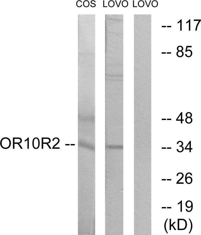 OR10S1 Antibody (PA5-39781) in Western Blot