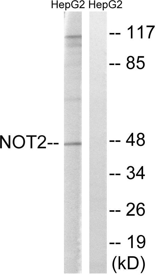 CNOT2 Antibody (PA5-39800)