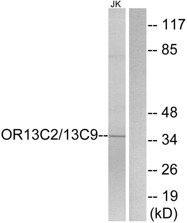 OR13C2/OR13C9 Antibody (PA5-39803) in Western Blot