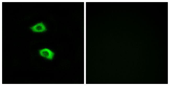 OR51B5 Antibody (PA5-39817) in Immunofluorescence