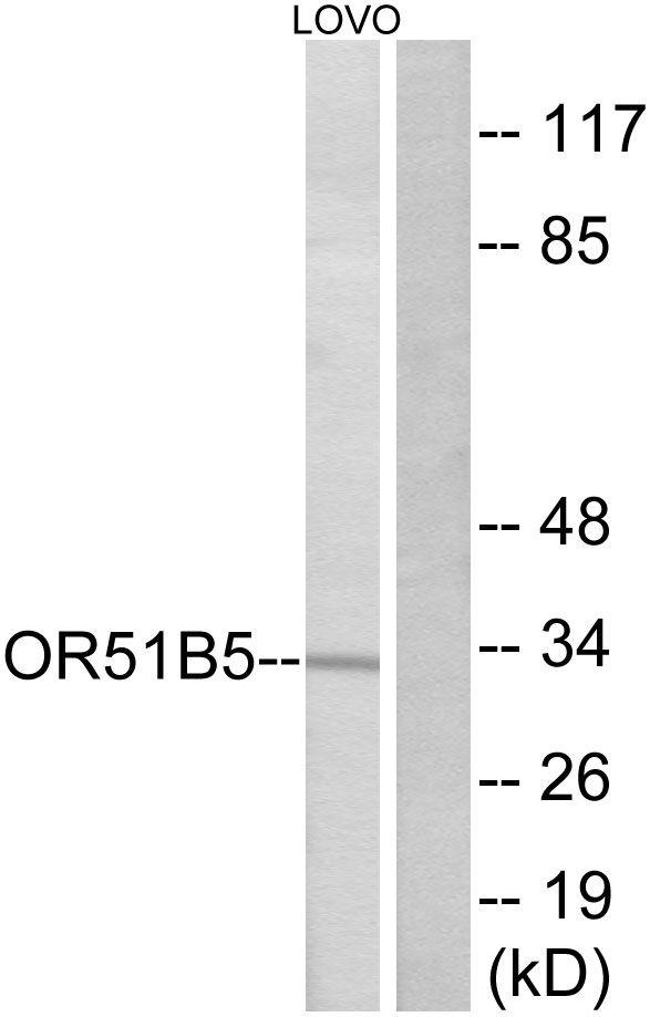 OR51B5 Antibody (PA5-39817) in Western Blot