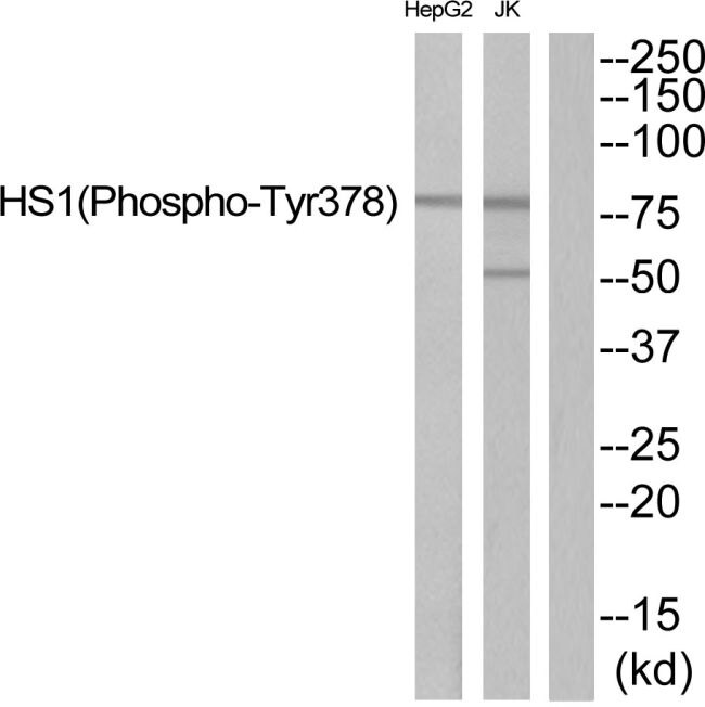 Phospho-HCLS1 (Tyr378) Antibody (PA5-39826) in Western Blot