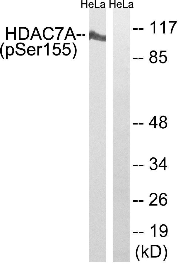 Phospho-HDAC7 (Ser155) Antibody (PA5-39833) in Western Blot