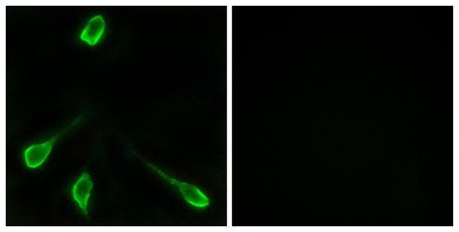 OR52E4 Antibody (PA5-39835) in Immunofluorescence